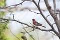 House Finch Royalty Free Stock Photo - 38547985