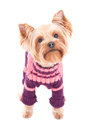 Little Dog Yorkshire Terrier In Winter Clothes Isolated On White Royalty Free Stock Photos - 38568508
