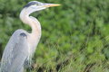 Great Blue Heron Royalty Free Stock Images - 38582109