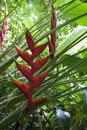 Tropical Flowers: Red Heliconia (Bihai) Royalty Free Stock Photography - 38631867