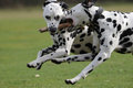 Two Dalmatians  Running Stock Photography - 38645262