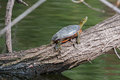 Painted Turtle Sunning Royalty Free Stock Image - 38645356