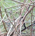Australian Bird Speckled Warbler Royalty Free Stock Photography - 38645367