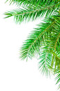 Leaves Of Palm Tree Isolated On White Background Royalty Free Stock Photo - 38668045