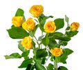 Yellow Rose Bush Flowers Isolated Royalty Free Stock Images - 38683299
