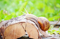 Closeup Of A Snail In The Forest Royalty Free Stock Photo - 38689225