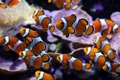 Clown Fishes Royalty Free Stock Image - 38704886