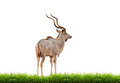 Male Greater Kudu With Green Grass Isolated Royalty Free Stock Photos - 38710208