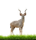 Male Greater Kudu With Green Grass Isolated Stock Image - 38710211