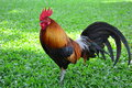 Cock Stock Images - 38718694