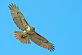 Red-Tailed Hawk Stock Image - 38720881