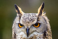 Eagle Owl Head Royalty Free Stock Image - 38724536