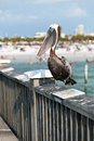 Clearwater Beach Florida Pelican Royalty Free Stock Photo - 38751935