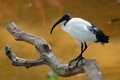 Ibis Stock Images - 38756324