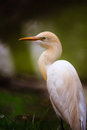 Great Egret Royalty Free Stock Photo - 38784385