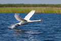 Swan Fly Over Blue Water Stock Photos - 38811913