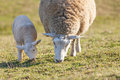 Mother Sheep With Her Lamb Stock Images - 38829844