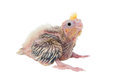 Cockatiel Baby Royalty Free Stock Photography - 38833427