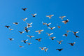 Flying Pigeons Royalty Free Stock Photo - 38840605