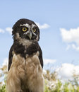 Spectacled Owl Royalty Free Stock Photo - 38848045