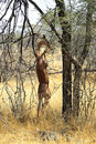 Gerenuk Stock Photography - 38855382