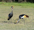 Crowned Crane Royalty Free Stock Photos - 38855558