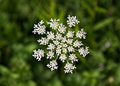 Queen Anne S Lace (Daucus Carota) Wildflower Stock Images - 38861484