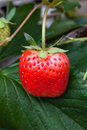 Strawberry Bush Growing In The Garden Stock Photography - 38883772