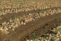 Harvested Onion Crop Royalty Free Stock Photos - 3894688