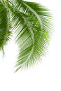Leaves Of Palm Tree Isolated On White Background Royalty Free Stock Photo - 38915705