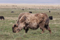 Yak Pastures Of Mongolia Stock Photo - 38943460