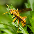 Wasp Macro Stock Image - 38954021
