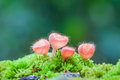 Mushroom Cookeina Tricholoma In Natural Royalty Free Stock Photography - 38956577