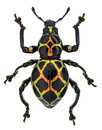 Exotic Weevil Pachyrhynchus Reticulatus Stock Photography - 38960252