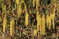 Male Flower Catkins Of Hazel Stock Photo - 38972420