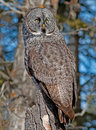 Great Gray Owl Stock Image - 38990911
