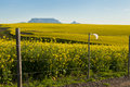 Canola Fields View Onto Table Mountain, Pollution Stock Image - 38997071