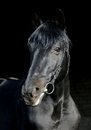 Portrait Of Wonderful Black Sportive Stallion Royalty Free Stock Photo - 39007375