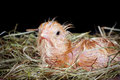 Young Chick In Nest Stock Photography - 39009372