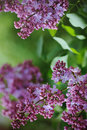 Branch Of Lilacs Flower Stock Photography - 39010272