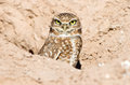 Burrowing Owl Royalty Free Stock Photography - 39021027