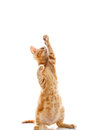 Red Little Cat Royalty Free Stock Photo - 39043425