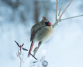 Female Cardinal Perched In Winter Royalty Free Stock Photography - 39043497