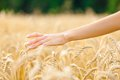 Close Up Of Hand Over Field Of Rye Royalty Free Stock Photo - 39060905
