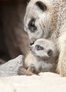 Meerkat With  Young Royalty Free Stock Image - 39091706