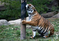 Tiger Royalty Free Stock Photography - 3913297