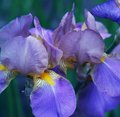 Close-up Of Iris Flower Stock Images - 39111364