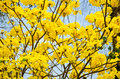Tabebuia Chrysotricha Yellow Flowers Blossom Royalty Free Stock Photos - 39116688
