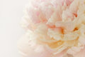 Pink Peony Royalty Free Stock Images - 39127819