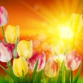 Sunset Over Field Of Colorful Tulip. EPS 10 Royalty Free Stock Images - 39150849